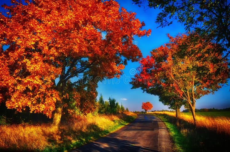 Klonowi drzewa z coloured li??mi wzd?u? asfaltowej drogi przy jesieni?, spadku ?wiat?em dziennym/ obraz royalty free