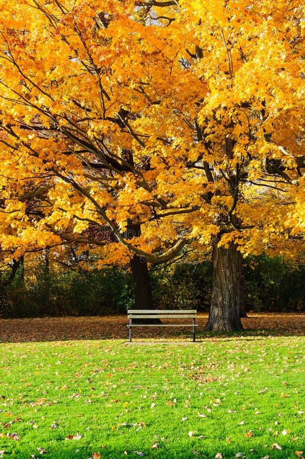 Klonowy drzewo i ławka zdjęcia stock