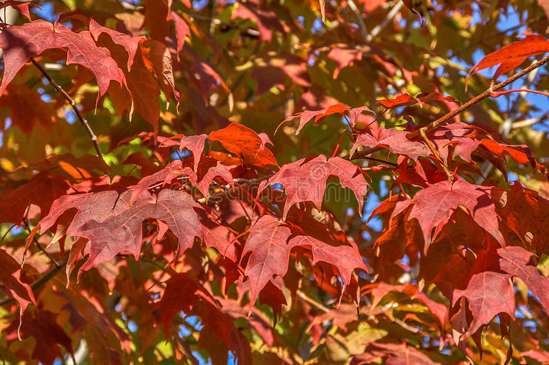Klonowy drzewo z czerwonymi liśćmi fotografia stock
