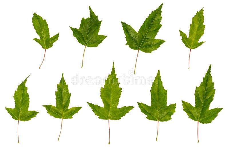 Klonowy ginnala Nierówni liście klonowi Mylny klon Liście klonowi odizolowywający na białym tle obrazy royalty free