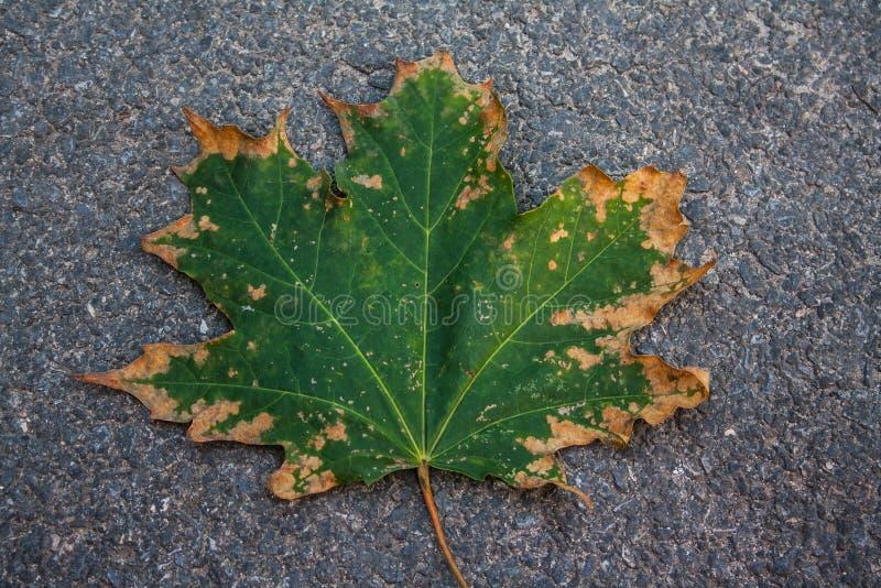 Klonowy zielonożółty liść fotografia stock
