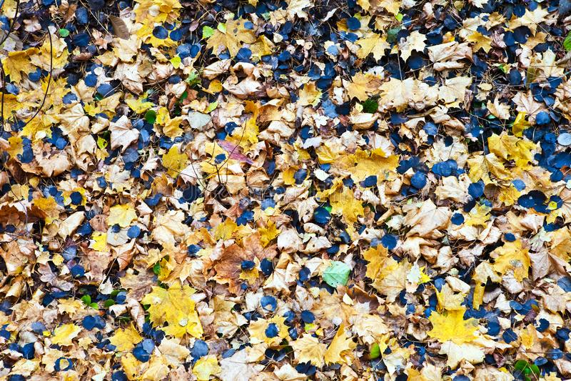 Klonu i osiki liście zdjęcia stock