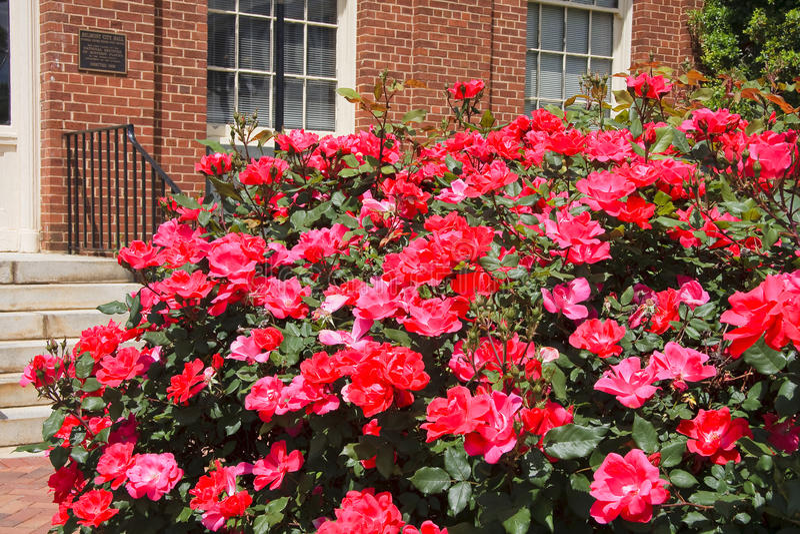 Klopfen Sie heraus Rosen stockfotografie