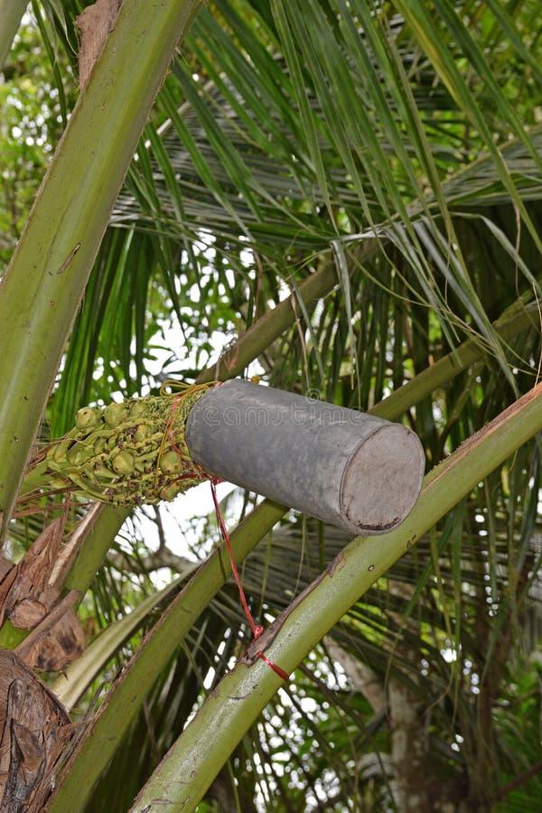 Klopfender Kokosnussbaum blühen Blüten für den Saft, indem er Behälter verwendet, um Zucker zu produzieren lizenzfreies stockbild