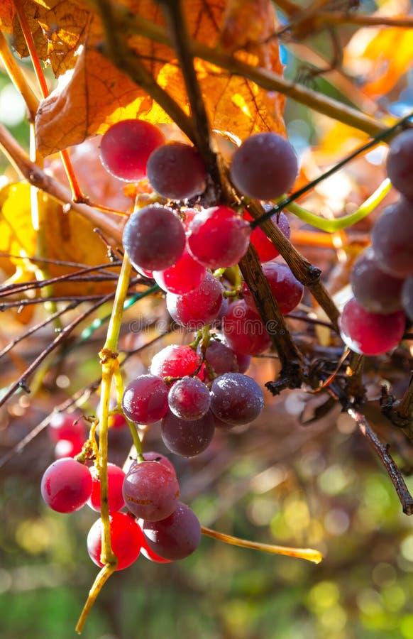 Klor av röda vindruvor på vinhäng från en vindruv med gröna blad fotografering för bildbyråer