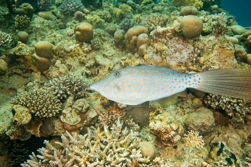 klottrad filefish royaltyfria foton
