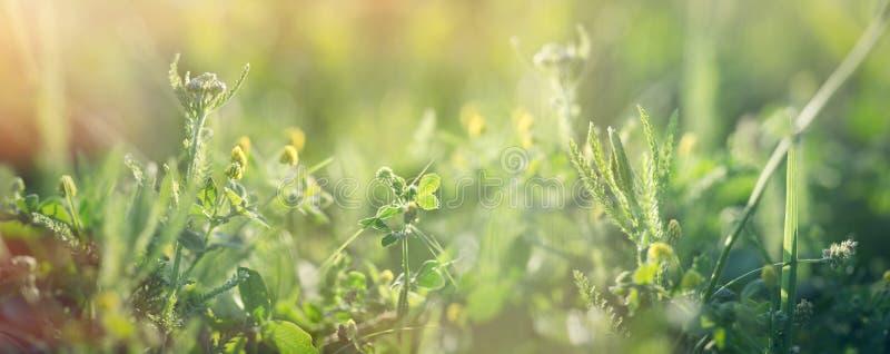 Klover och friskt gräs på våren, vacker natur i ängen arkivbilder