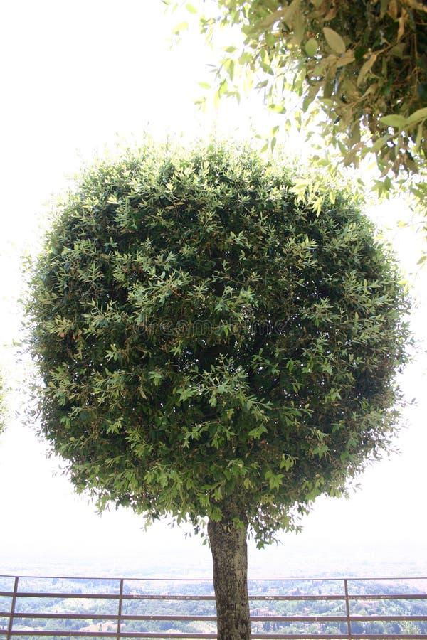 Download Klubbatree arkivfoto. Bild av leaves, naturligt, växt, klubba - 996818
