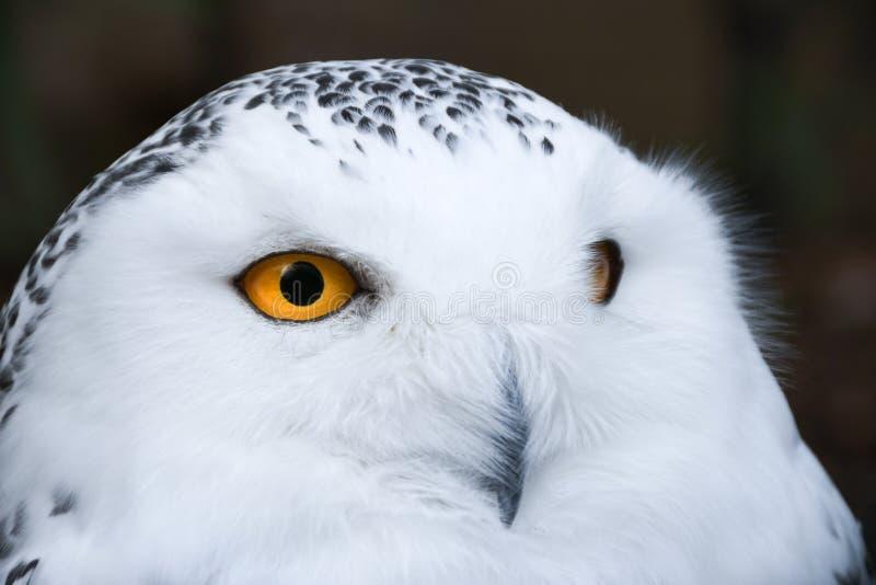 Kluge schauende weiße Schneeeule mit großem orange Augenporträt stockbild