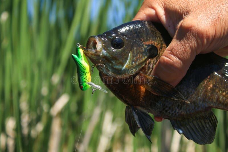 KlumpfiskBluegill som fångas på Crankbait fiskedrag arkivbilder
