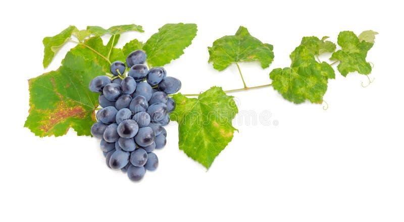 Klunga av blåa druvor på vinrankan med sidor arkivfoto