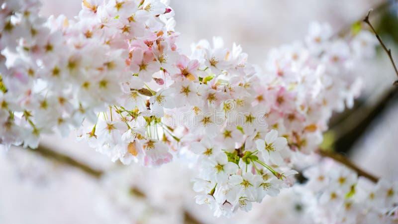 Klunga av Cherry Flowers That Form The blomningar som hänger på trädet som firar en härlig vårmorgon arkivfoto