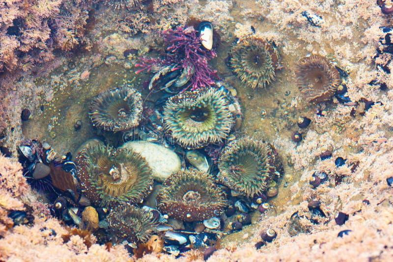Klunga av den färgrika havsanemonen, den svarta turbansnigeln och marin- liv för muskler royaltyfri foto