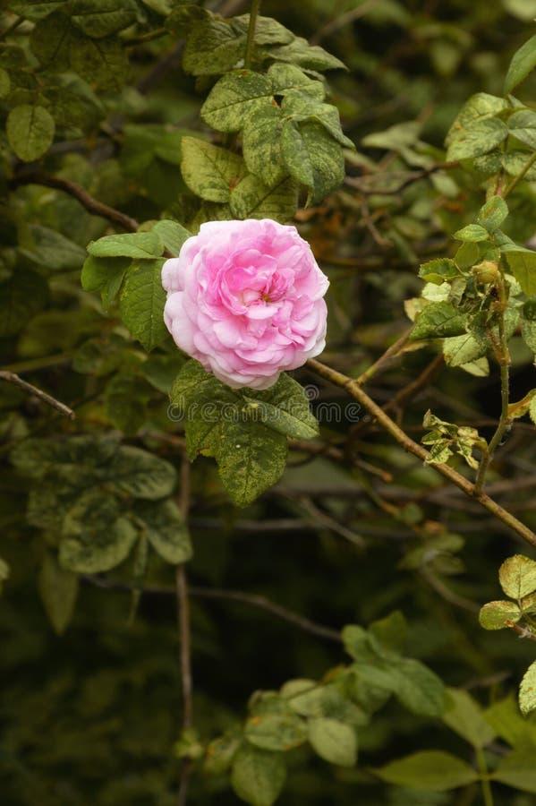 Klunga av frodiga rosa rosor royaltyfri foto