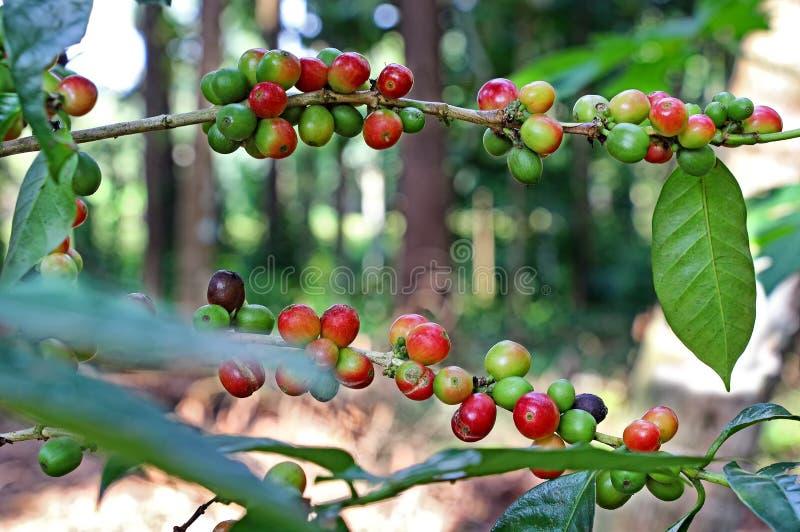 Klunga av kaffebönor i växt arkivfoto