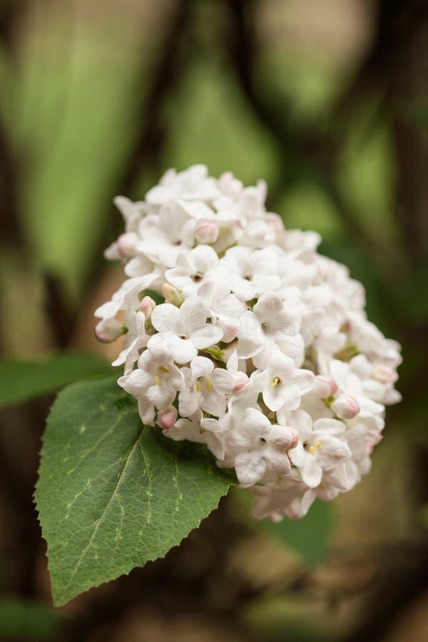Klunga av Vibernum blommor arkivfoto