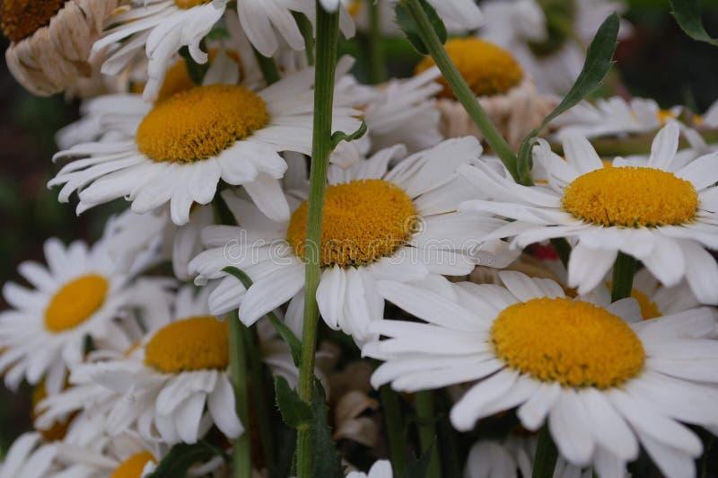 Klunga av vita kronblad för tusenskönablom och gul mitt royaltyfri foto