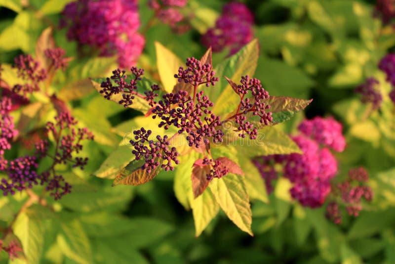 Klunga för växt för Bumald Spirea eller för Spiraea x bumalda trädgårds- hybrid- av blommaknoppar på solnedgången arkivbilder
