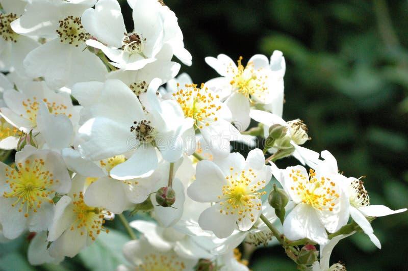 Klungan av lösa rosa knoppar lockar pollinators royaltyfri bild