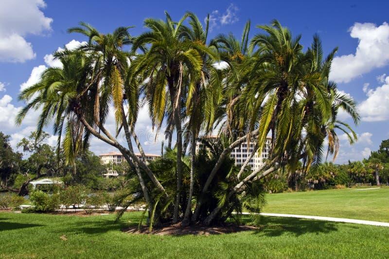 klungapalmträd arkivbilder