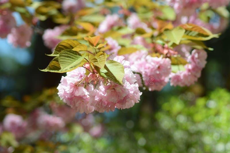 Klungor av den delikata rosa körsbärsröda blomningen royaltyfria bilder