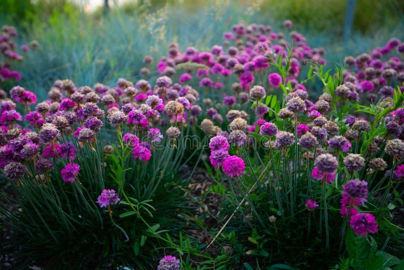 Klungor av ljusa rosa blommor royaltyfri bild