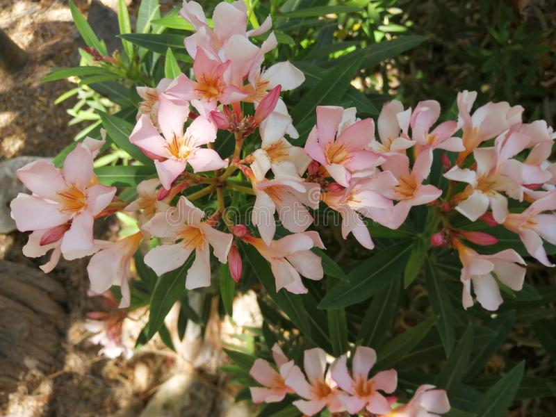 Klungor av oleander blomma-Andalusia-Spanien arkivfoto