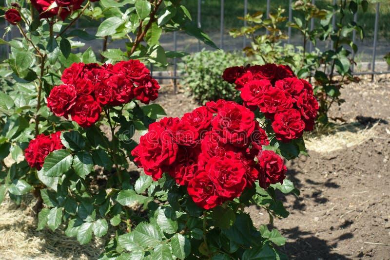 Klungor av r?da blommor av rosor royaltyfri bild