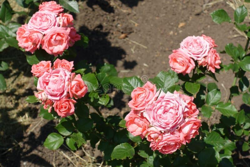 Klungor av rosa blommor av rosen arkivbild