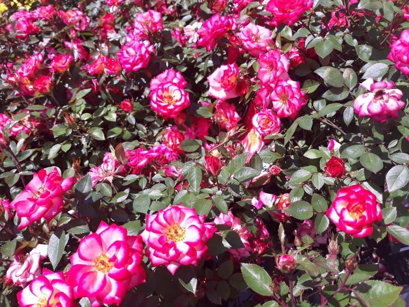 Klungor av små rosor fotografering för bildbyråer