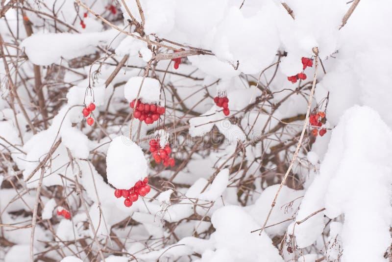 Klungor av viburnumen på ett träd som täckas tjockt med snö royaltyfri bild