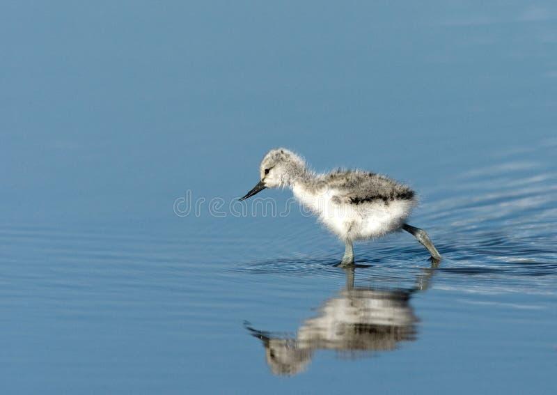 Kluut, παρδαλό Avocet, avosetta Recurvirostra στοκ φωτογραφίες