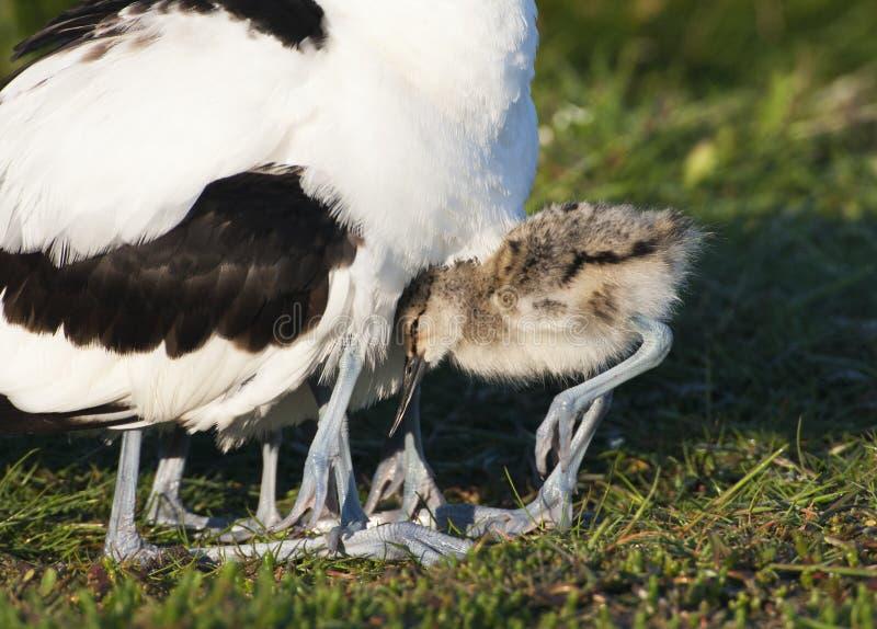 Kluut, παρδαλό Avocet, avosetta Recurvirostra στοκ φωτογραφία με δικαίωμα ελεύθερης χρήσης
