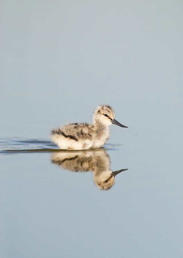 Kluut, παρδαλό Avocet, avosetta Recurvirostra στοκ εικόνες