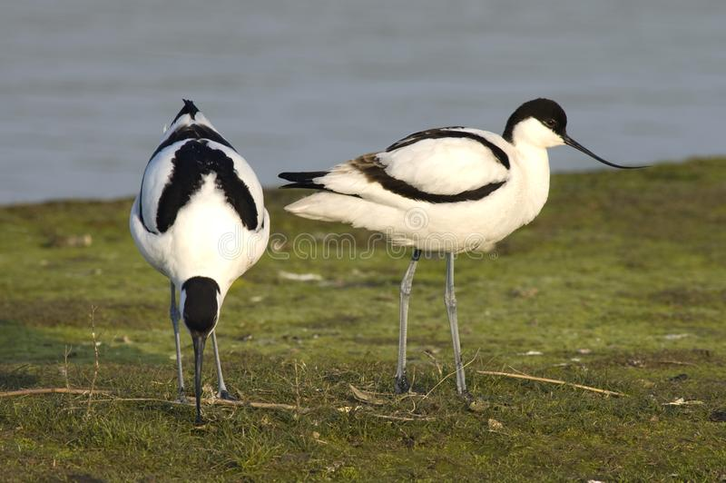 Kluut, Bonte Avocet, Recurvirostra-avosetta stock fotografie
