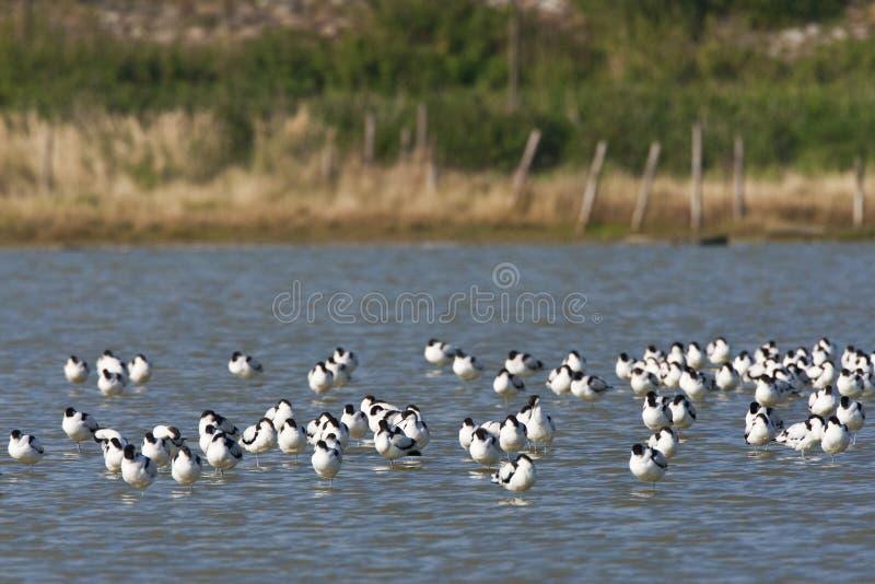 Kluut, Bonte Avocet, Recurvirostra-avosetta royalty-vrije stock foto's