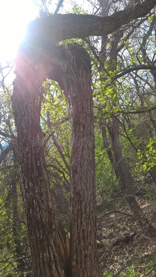 Kluven trädstam fotografering för bildbyråer
