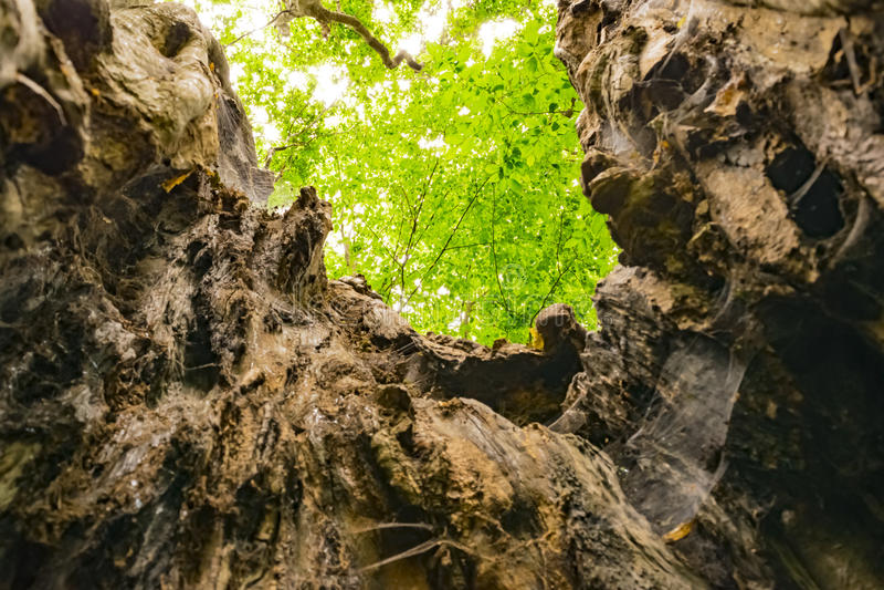 Kluvet träd royaltyfria foton