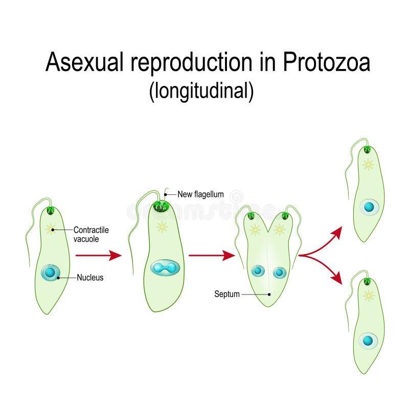 Klyvning eller asexuell reproduktion i Euglena stock illustrationer