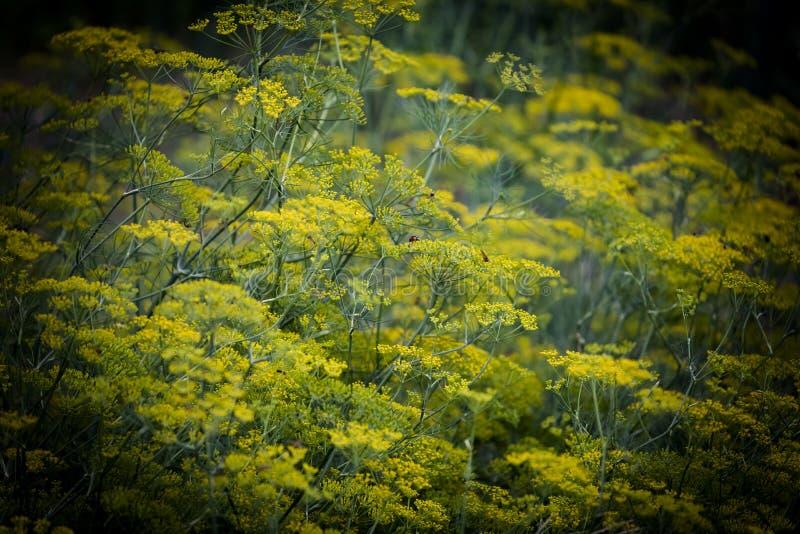 Kminów kwiaty, mały kminu gospodarstwo rolne fotografia stock
