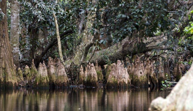 Knä för dammcypress, spansk mossa, fristad för djurliv för Okefenokee träsk nationell arkivbilder