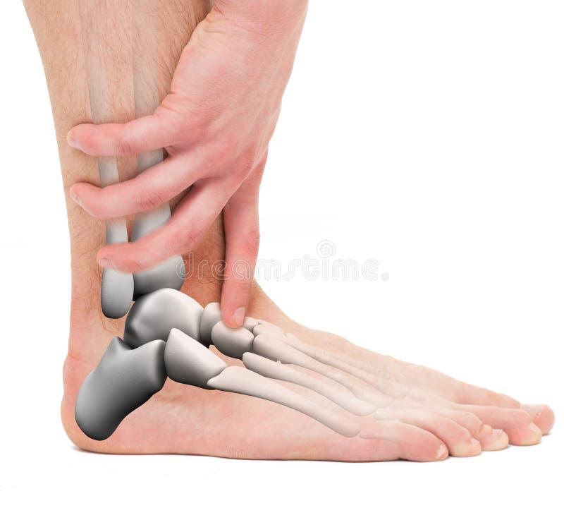 Knöchel-Knochen - Anatomie-Mann Auf Weiß Stockfoto - Bild von muskel ...