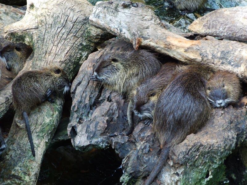 Knaagdieren bij de dierentuin in Zagreb stock foto