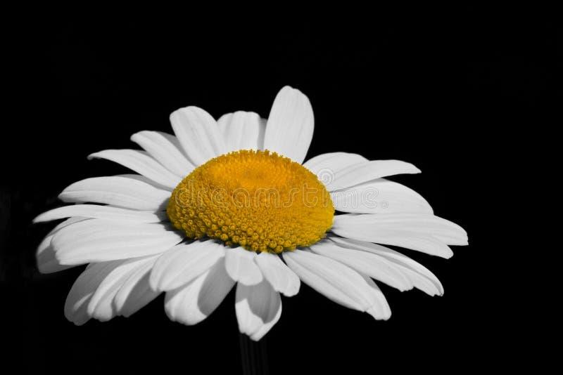 Knallende Daisy stock afbeelding