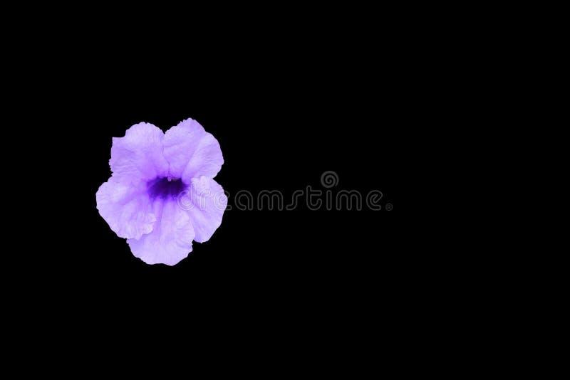 Knallendes Hülsenblumenpurpur lokalisiert auf schwarzem wissenschaftlichem Namen des Hintergrundes und des Beschneidungspfads, Wa lizenzfreie stockfotos