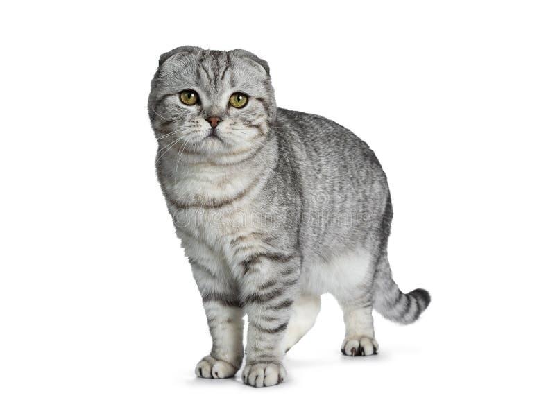 Knap jong zilveren de kattenkatje van gestreepte kat Schots die Vouwen, op witte achtergrond wordt geïsoleerd stock fotografie