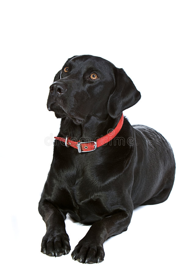 Knap Zwart Labrador royalty-vrije stock foto