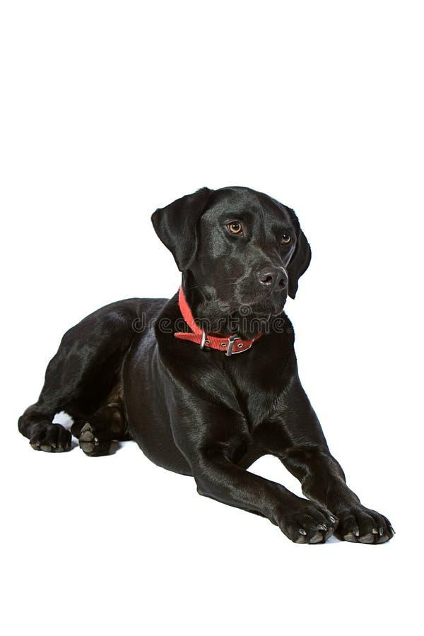 Knap Zwart Labrador stock foto's