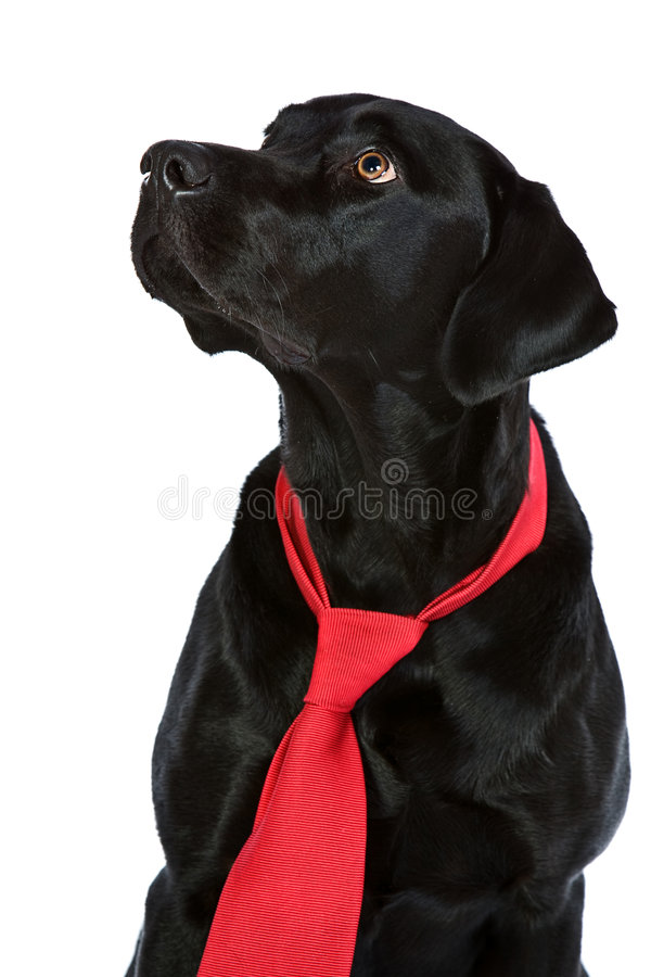 Knap Zwart Labrador in Rode Band stock afbeelding