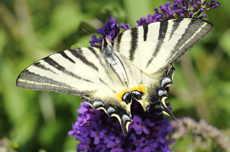 knapp swallowtail royaltyfri fotografi